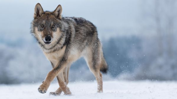 "Zoologist Hulva: ""The fear of wolves is an evolutionary atavism"""